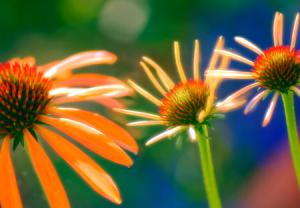 اکیناسه(Echinacea) یک درمان طبیعی و خوب برای سرماخوردگی و آنفولانزا
