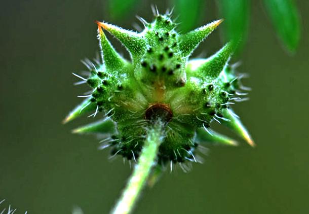 میوه و قسمتهای هوایی گیاه تریبولوس