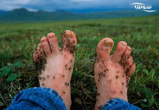 حشرات بوی بدن میزبان را هیچگاه فراموش نمیکنند!