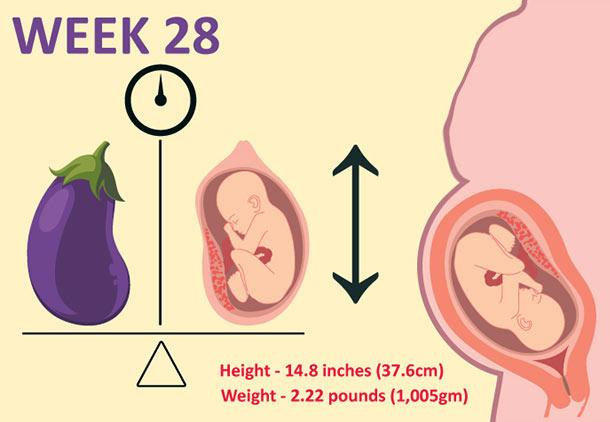 اندازه جنین در هفته بیست و هشتم بارداری